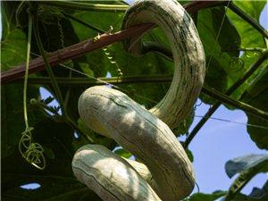 江夏鲁湖:品农园的奇瓜异果