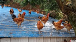 金寨县锦卉源家庭农场的土鸡上市了
