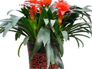室内摆放植物-鸿运当头-广汉市华亮园艺种植场推荐(图片)
