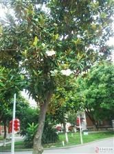 广玉兰树,花期6月