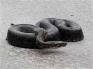 中午,坪上镇连城龙路段有一条大蟒蛇,吓坏路人了