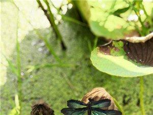 明明是蜻蜓,但怎么看又像是蝴蝶