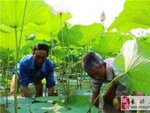 仙山湖650亩荷花绽放 游客闻香而来