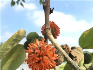 一身都是宝的构树,果实是童年时的零食大礼包