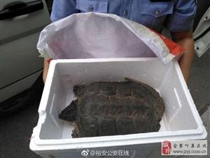 你见过尾巴超长的乌龟么