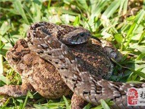 毒蛇的嘴巴还能张多大?