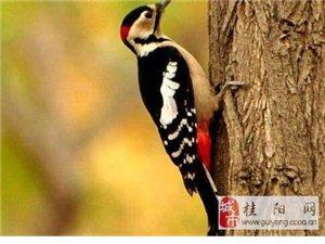 啄木鸟啄木的速度极快, 几乎是音速的两倍, 却不会得脑震荡