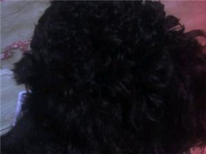本人昨天傍晚在后洪丢失一只黑色泰迪狗
