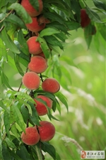 三官殿村脆甜可口的大水密桃大采卖
