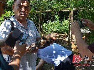 澳门网上投注网站放飞四只国家一级保护野生动物白颈长尾雉回家