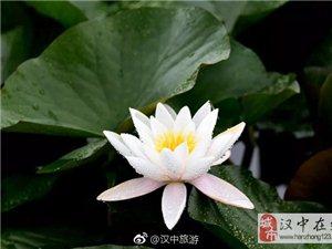 威尼斯人网上娱乐平台汉江睡莲绽放,粉白相间惹人爱