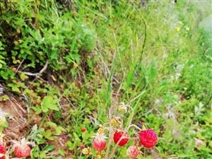 山里娃娃摘野草莓(瓢儿)的一天