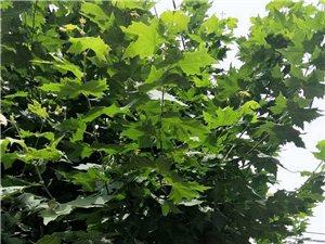 家乡的梧桐树