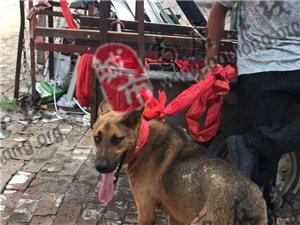 【寻物启事】谁家的狗狗丢了,快来认领!请帮忙找主人!