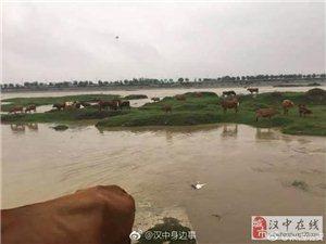 31头牛被困汉江河,民警冒雨抢救!