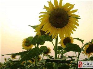 美爆啦!临泉长官千亩葵花盛开,周末一起去赏花……