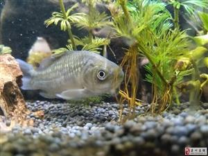 谁能告诉我 这条鱼是肿么了??