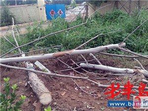 即墨即�m路700多棵新栽法桐死亡近半 村民:砍了活�浞N死��