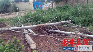 即墨即兰路700多棵新?#33489;?#26704;?#21171;?#36817;半 村民:砍了活树种死树
