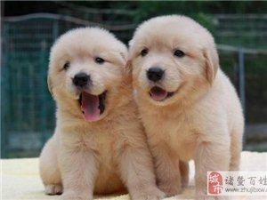 奉���物:如何挑�x金毛幼犬?