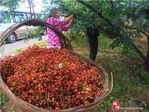 【公益助农】花椒红了,韩城急需10万采椒客