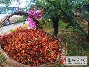【公益助农】|花椒红了,韩城急需10万采椒客!