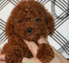 吧里的朋友有出售 泰迪 比熊的吗 买个自己养着玩