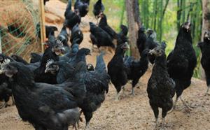 谁家有散养的乌鸡卖吗?求购一只。给家人补身体。