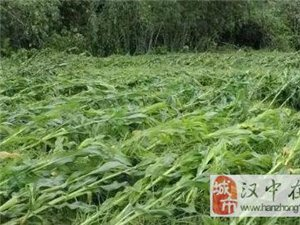 暴雨后玉米倒伏,汉中老乡你扶还是不扶?
