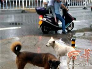 略阳常有几条大狗聚集在小学门口觅食