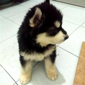 阿拉斯加犬,50天,已打一针疫苗,有意者电话15390133998联系