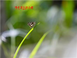 白鹭河边的小蝶