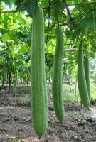 三伏天最适合吃丝瓜 吃对了清火解暑防燥