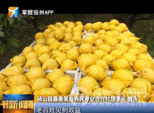 砀山:15万亩早熟梨成熟 果农喜获丰收