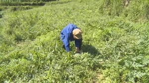 丰都这里有400亩西瓜喜获丰收!吃瓜群众们有福啦~