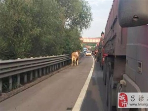 青速高速吕梁段惊现一头牛横冲直撞