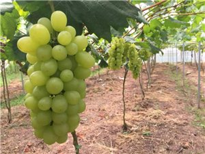 丰都高镇的葡萄园里,60亩成熟的葡萄,晶莹剔透诱惑人心!