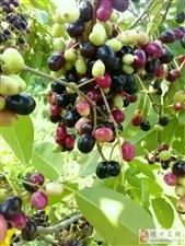 童年回忆中的山上野果,你吃过多少种...