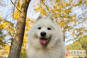 经常加班的人到底适合养什么狗作为宠物呢?
