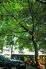 丰都这些随处可见的树,都大有来历!承载了无数记忆~