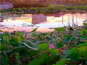 桦西湖荷塘系列三---晨雾仙荷