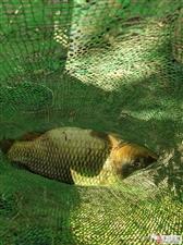 平川一农民在黄河边捡到硕大的鱼,摩托车运回,手臂伸直那么长!