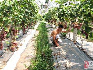 新品种葡萄熟了!永顺远发生态农场又来送福利了!