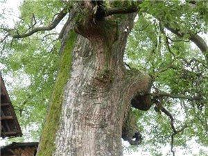 樟市镇巨大樟树荫蔽下的太平古村