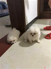 家有满月萌犬两只寻新家,有意购买者请拨打电话:18113740556