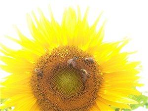 向日葵熟了