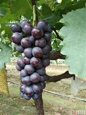 这葡萄是旺苍哪儿有,看着就想吃!