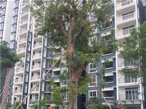 盛城绥尚居美宅,又见60年龙眼老树
