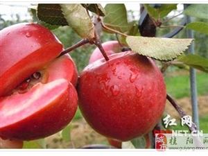 澳门网上投注游戏南方首例红肉苹果试种成功