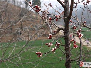 汝州的杏花�